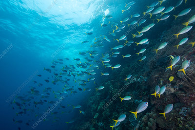 Yellowtail Fusiliers, Indonesia