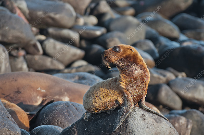 Galapagos Sea Lion Pup