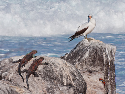 Booby, Iguanas and Crab, Galapagos