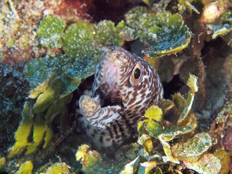 Spotted Moray Eel (Gymnothorax moringa)