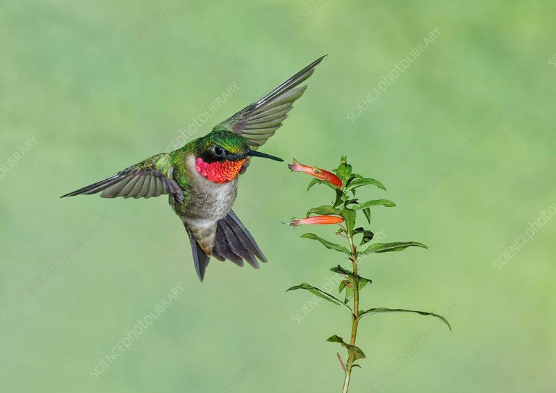 Ruby-throated Hummingbird, Archilochus colubris