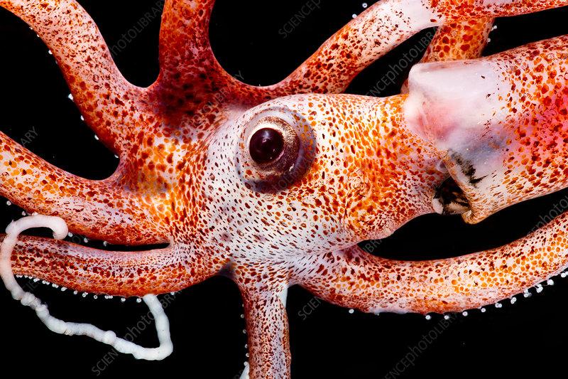 Joubin's squid (Joubiniteuthis portieri)
