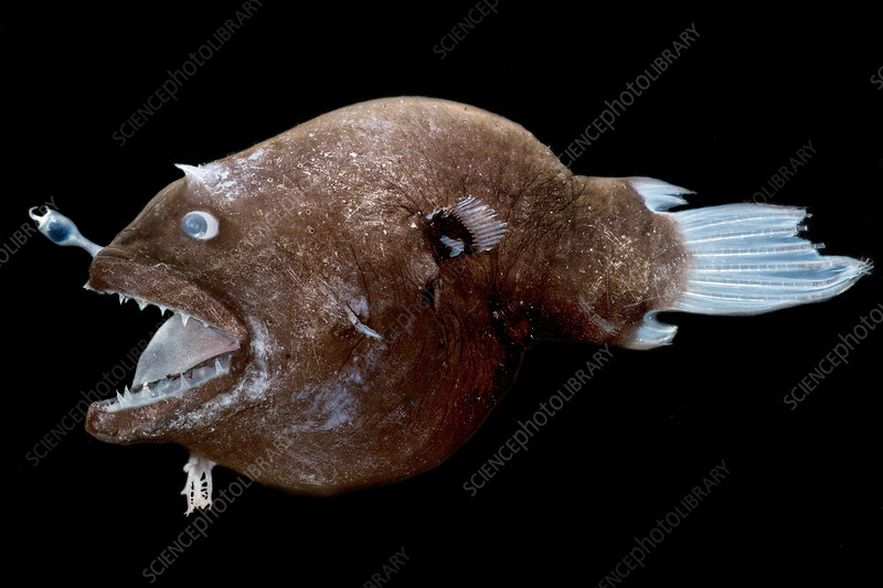 Female anglerfish (Linophryne sp.)