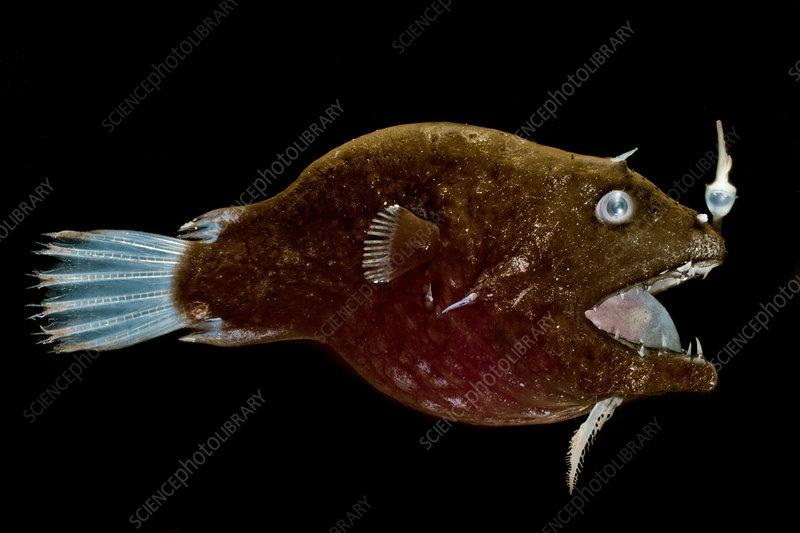 Female anglerfish (Linophryne sp.)
