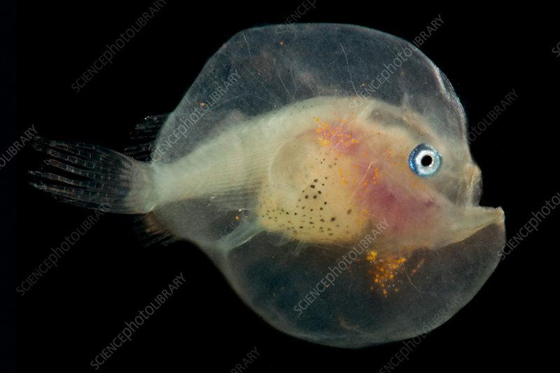 Larval female anglerfish, Oneirodidae