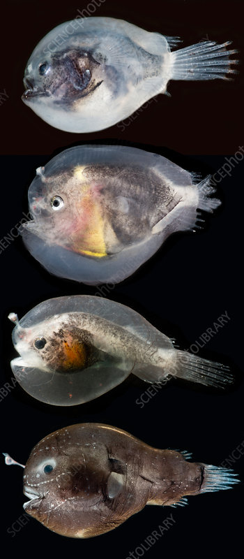 Larval anglerfishes stages