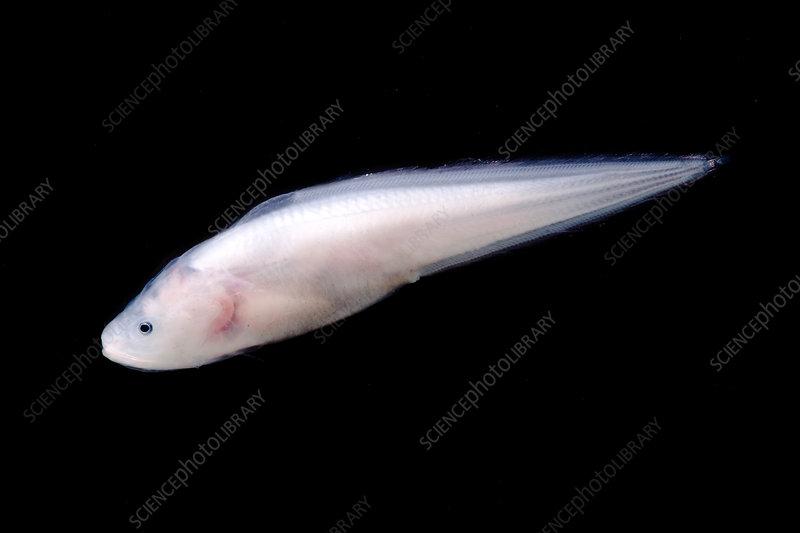 Cusk Eel (Luciobrotula corethromycter)