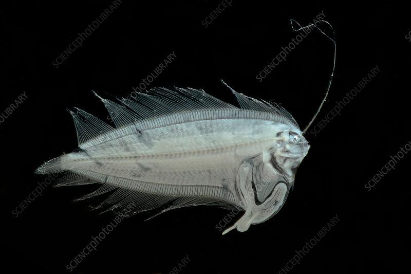Larval Flatfish collected in trawl