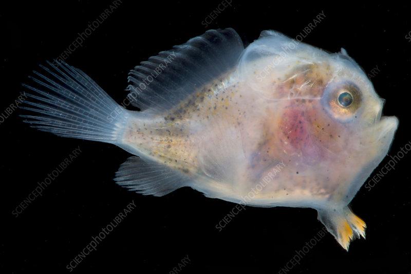 Frogfish, Antennarius sp., larva