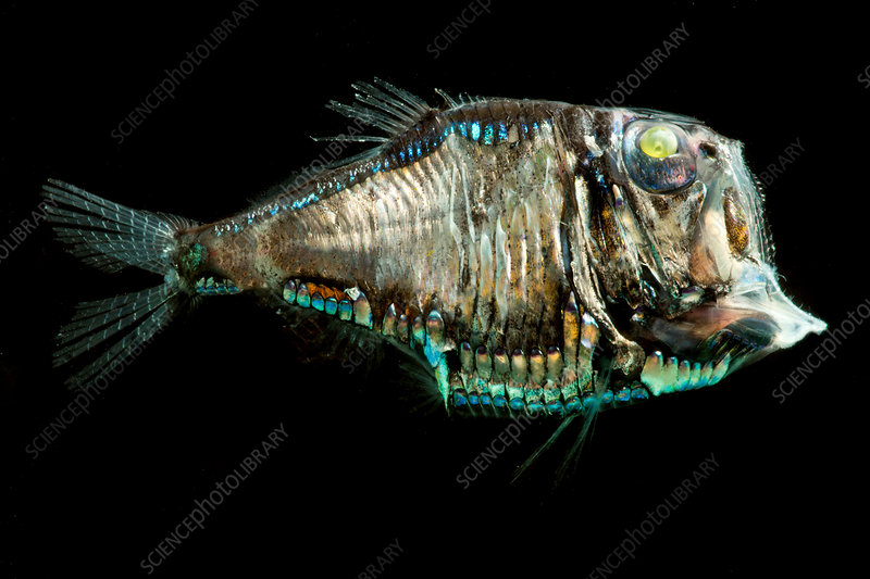 Pacific Hatchetfish (Argyropelecus affinis)