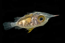 Larval Squirrelfish (family Holocentridae)