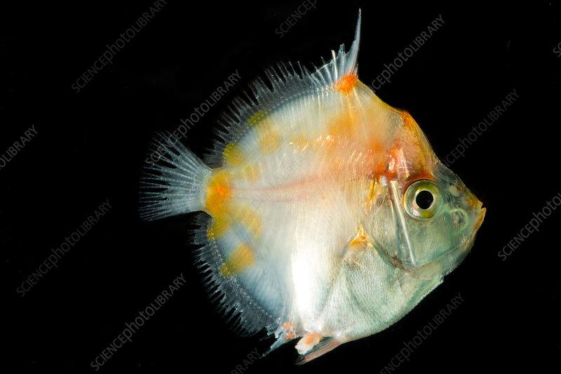 Shortspine Boarfish (Antigonia combatia)