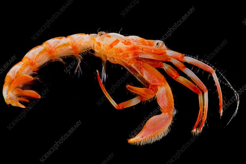 Hermit Crab (Paguroidea sp.)