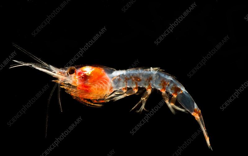 Mesopelagic Shrimp (Janicella spinicauda)