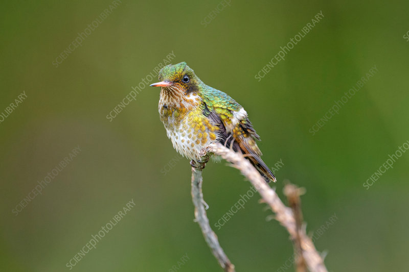Black-crested coquette, Lophornis helenae