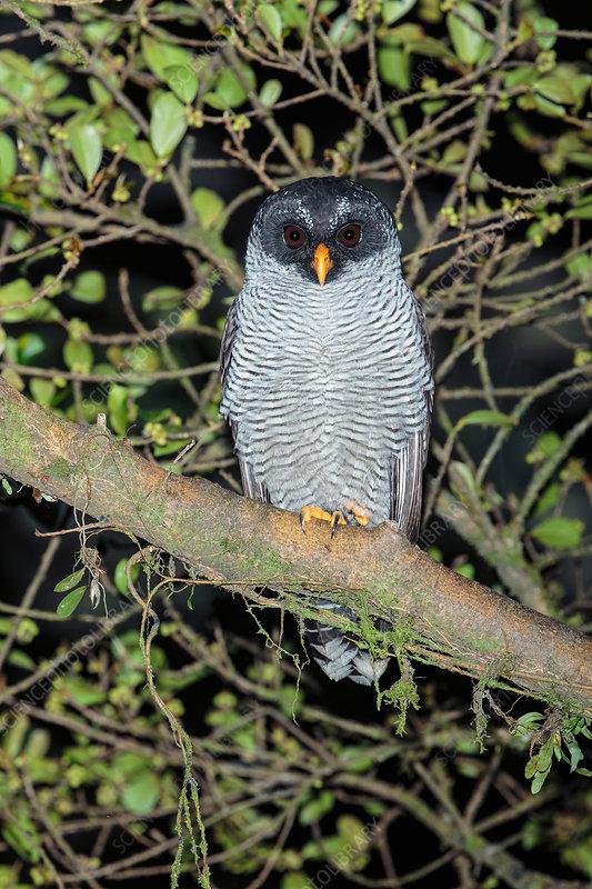 Black-and-white owl, Strix nigrolineata