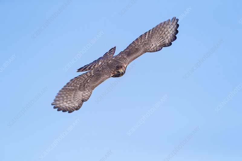 Cooper's Hawk, Accipiter cooperii, immature