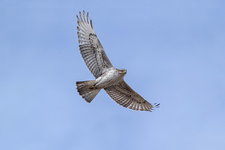 Ferruginous Hawk, Buteo regalis