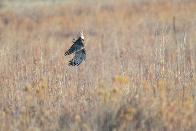 Northern Harrier, Circus cyaneus