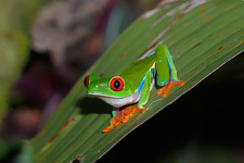 Red Eyed Tree Frog on it's nocturnal hunt
