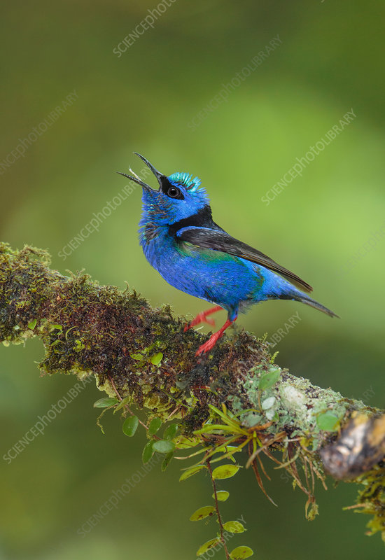 Red-legged honeycreeper, Cyanerpes cyaneus