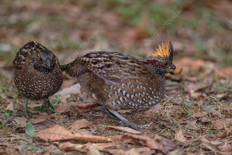 Spotted wood quail, Odontophorus guttatus