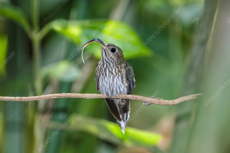 White-tipped sicklebill hummingbird