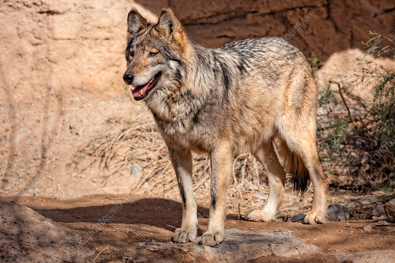 Endangered Mexican Wolf