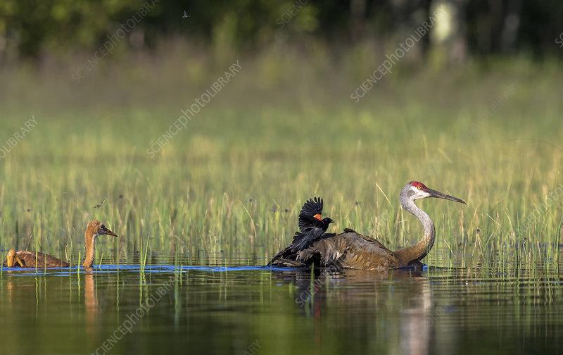 Sandhill Crane Attacked by Red-winged Blackbird