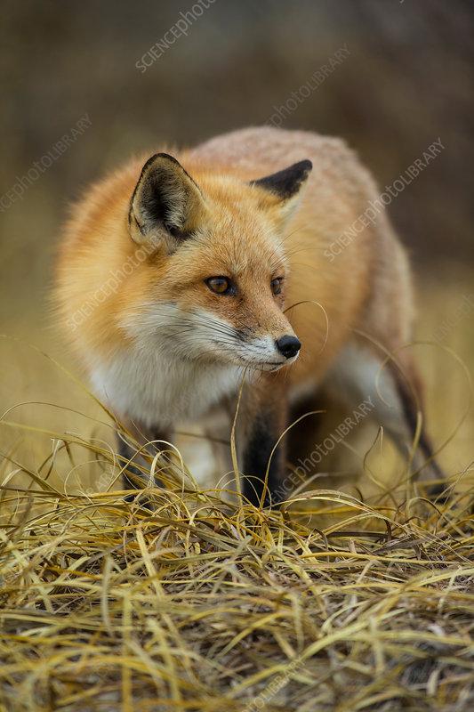 Red Fox in NJ