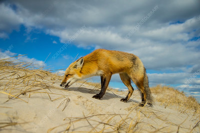 Red Fox on Sand Dune