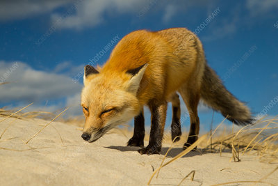 Red Fox in Wind