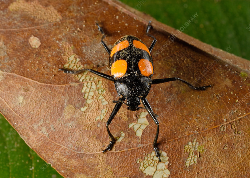 Red and black fungus beetle