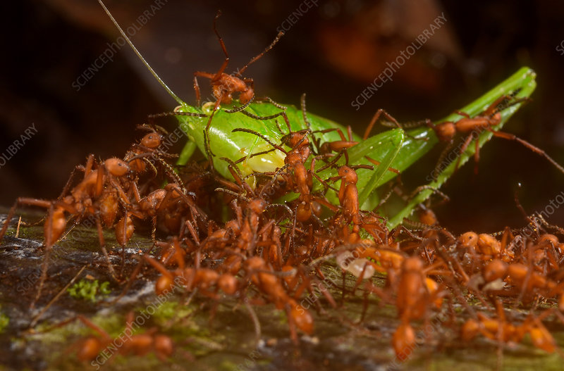 Army ants attacking katydid