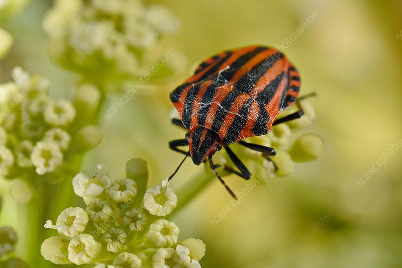 Minstrel Bugs