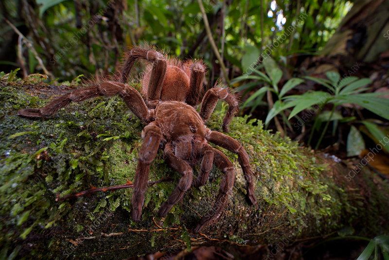 Brown Velvet Tarantula