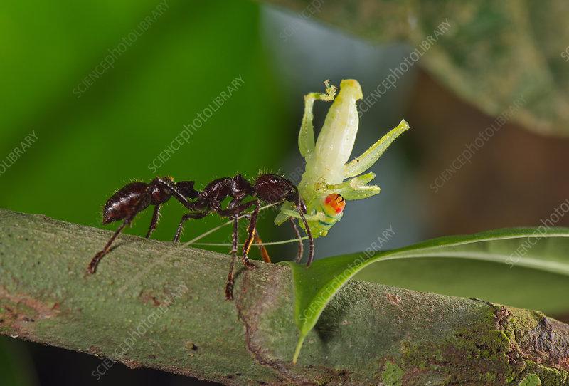 Bullet ant attacking grasshopper