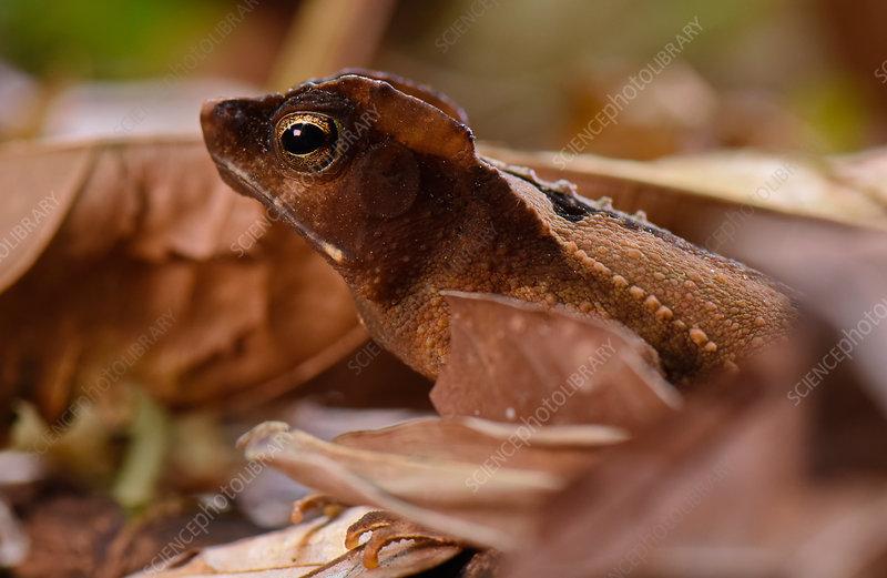 South america leaf toad