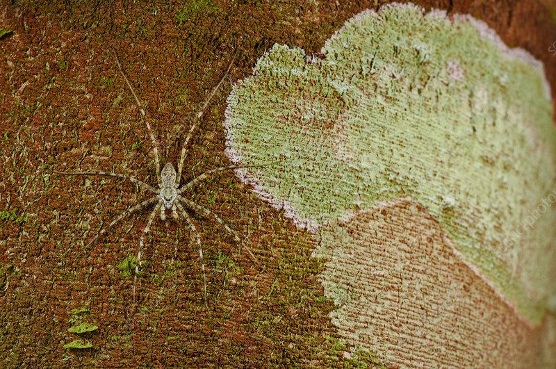 Camouflaged Bark Spider