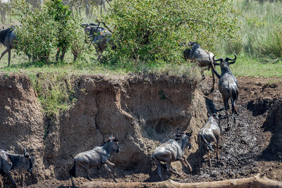 Wildebeest On Riverbank, Kenya