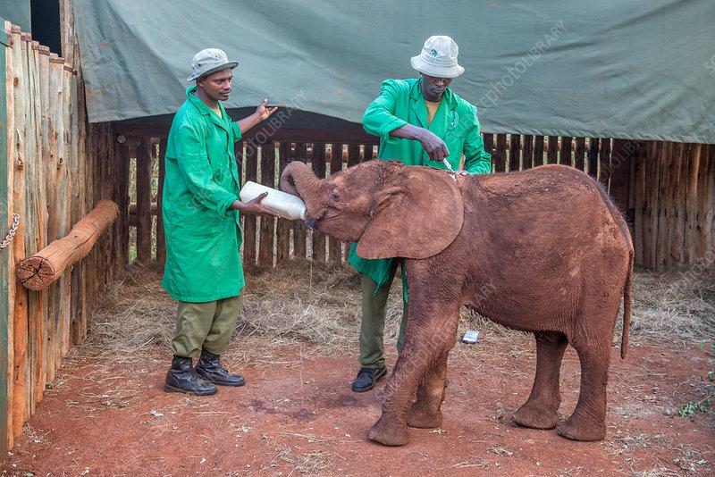 Feeding Time For Elephant Calf, Nairobi, Kenya
