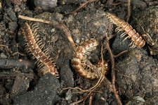 Greenhouse Millipedes
