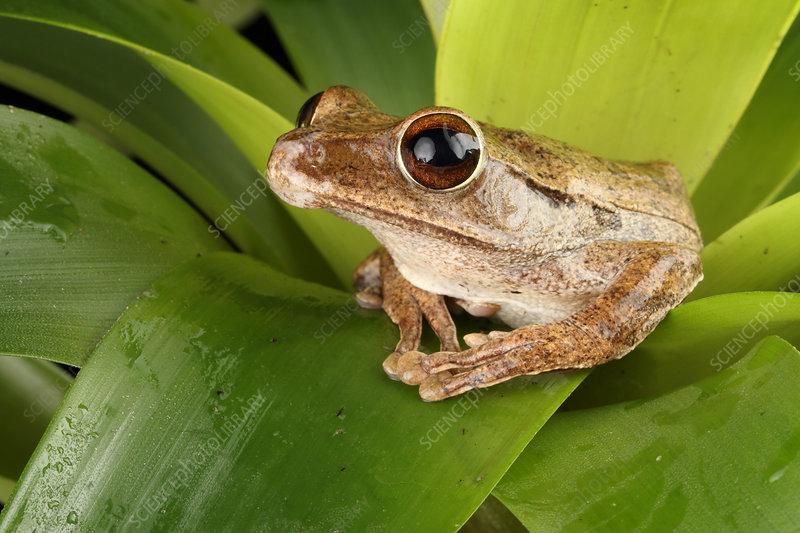 Common Treefrog (Polypedates leucomystax)
