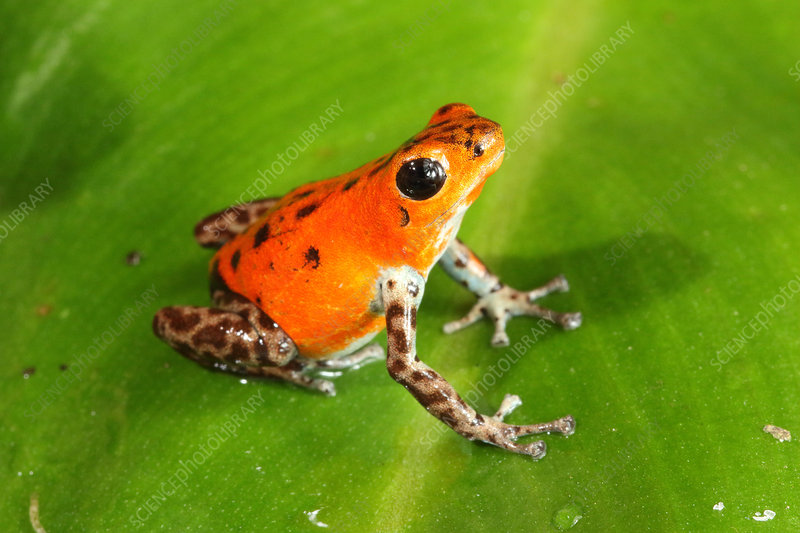 Poison Dart Frog (Oophaga pumilio)