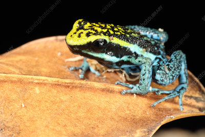 Peppered Poison Dart Frog