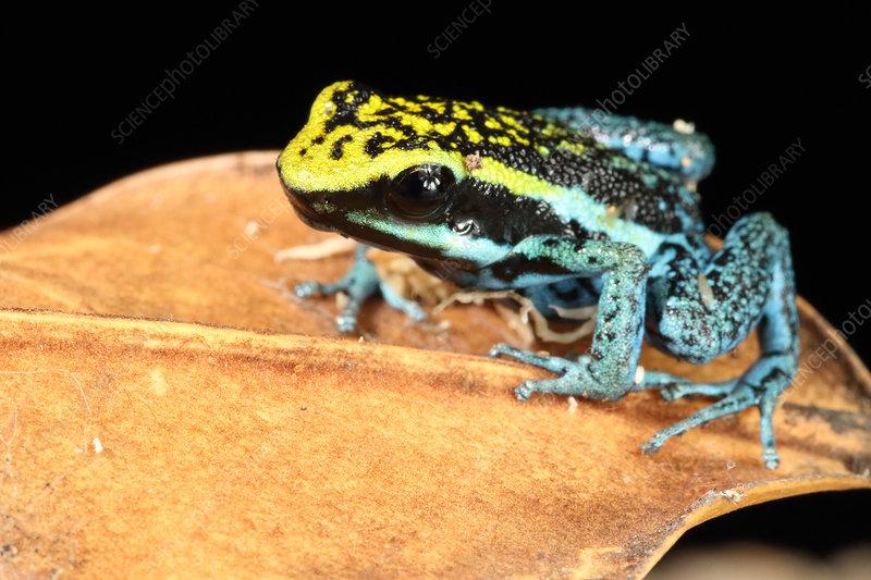 Peppered Poison Dart Frog