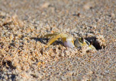 Atlantic Ghost Crab digging burrow