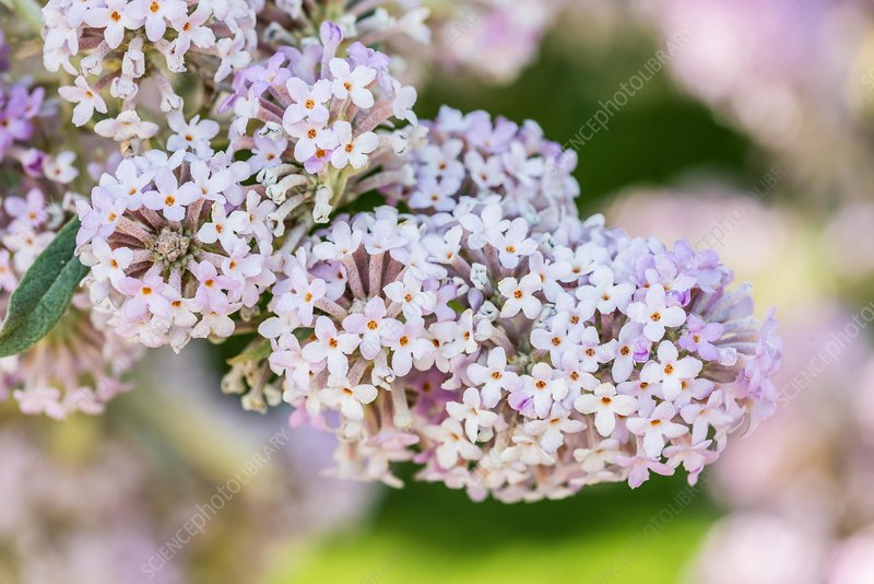 Butterfly tree (Buddleja Officinalis)