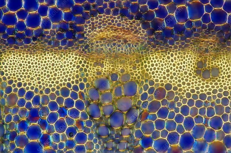 Lily (Lilium sp.) stalk, light micrograph