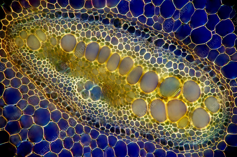 Fern stalk, light micrograph